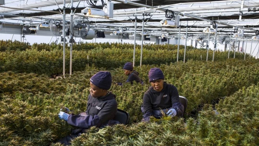 laboratoire-Cannabis-thérapeutique-afrique-du-sud-ph2.jpeg